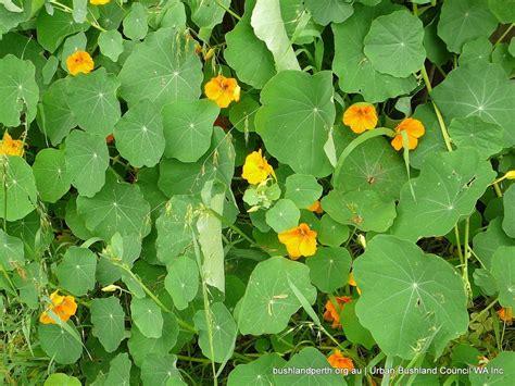 Garden Nasturtium by Garden Nasturtium Bushland Council Wa