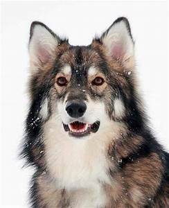 Utonagan Dog Breed » Information, Pictures, & More