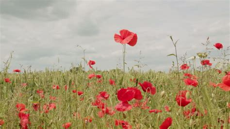 poppies meaning poppy definition meaning