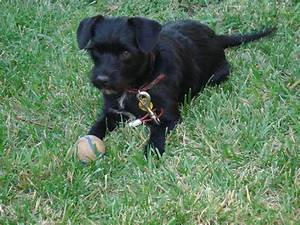 black terrier mix | Gone to the Dogs | Pinterest