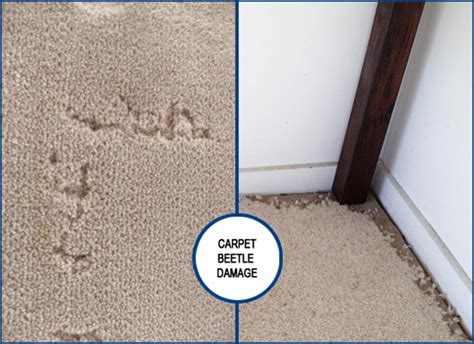 What To Do About Carpet Beetle How To Clean Mildew Out Of Car Carpet Commercial Cleaner Canada Get Rid Beetle Larvae In Couch Best Way Vomit Smell Dirty Edges Nail Varnish Off A Install Using Tack Strips Do You Remove Old Red Wine Stains From