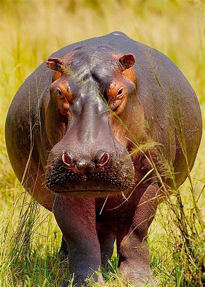 Hippo Facts Hippopotamus Animal Huge Africa Animals