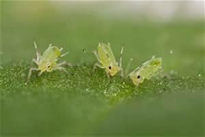 Kleine Fliegen Im Blumentopf Hausmittel : pflanzensch dlinge ~ Whattoseeinmadrid.com Haus und Dekorationen