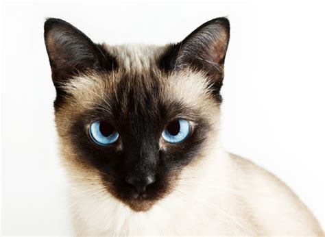Things You Didnt Know About Siamese Cats Iheartcats Com
