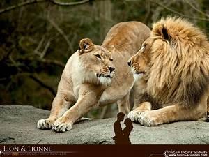 fond d39ecran lion et lionne With plan de maison original 14 fond decran lion blanc