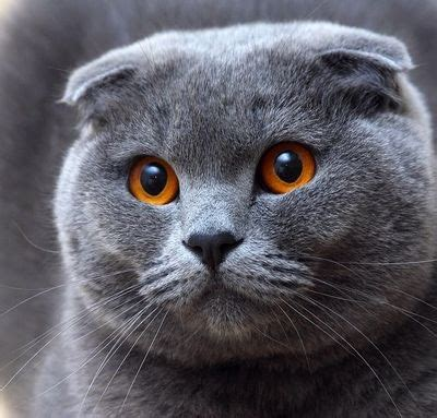 scottish fold cats  character  reviews  cats