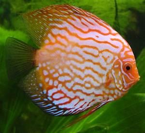 File:Discus fish.jpg - Wikipedia