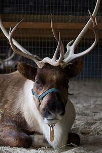 Can Reindeer Actually Fly  Find Out From Our Wild Encounters Team During Pnc Festival Of Lights