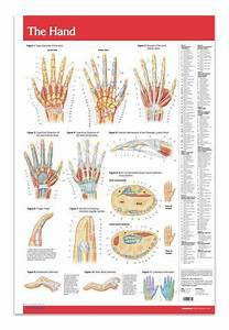 Hand - Joints Articulations