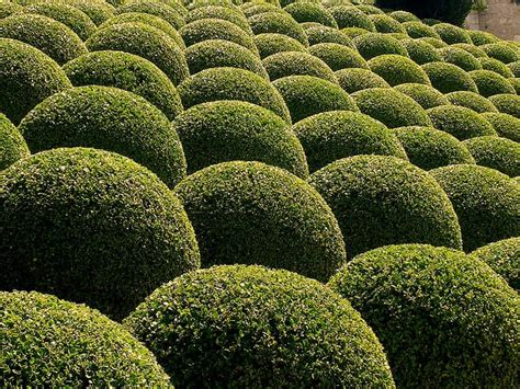 Box Topiary Shapes Best4hedging