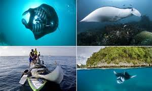 indonesia declares   worlds largest manta ray sanctuary daily mail