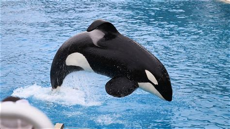 14-year-old Killer Whale Successfully Imitates Human