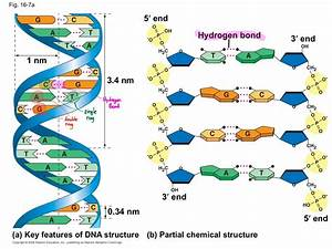 Bi U00b7ol U00b7o U00b7gy  B U012b U02c8 U00e4l U0259j U0113    Structure Of Dna And Nucleotides