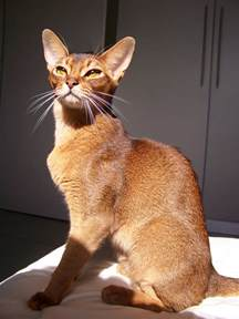 cats span abyssinian cat expectancy about animals