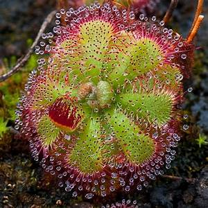 Drosera, a sundew plant | For the Home | Pinterest