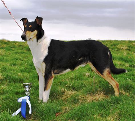Breckamore Smooth Collies