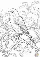 Coloring Bird Bluebird State York Eastern Birds Pages Missouri Drawing Printable Symbols Animais Desenho Para Colorear Flower Dot Flag Da sketch template