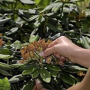 Rhododendron Blüten Schneiden : so schneiden sie einen alten rhododendron zur ck garten rhododendron schneiden rhododendron ~ A.2002-acura-tl-radio.info Haus und Dekorationen