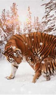 1920x1080 Tiger With Cub 8k Laptop Full HD 1080P HD 4k ...