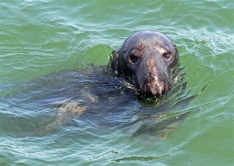 Cape Cod Harbor Seal Photograph By Juergen Roth