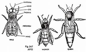 Structure Of Honey Bee  Apis