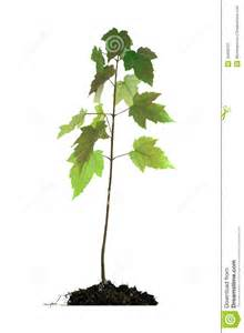 baby maple tree in root stock image image 30400751
