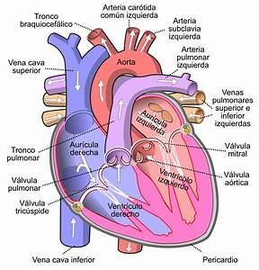 File Diagram Of The Human Heart  Cropped  Es Svg