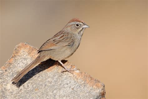 rufous crowned sparrow 3