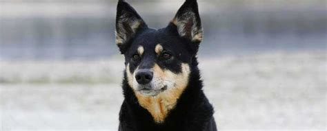 lapponian herder dog breed info characteristics traits