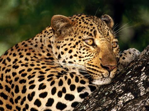 Wild Animals Images Big Cats Hd Wallpaper And Background