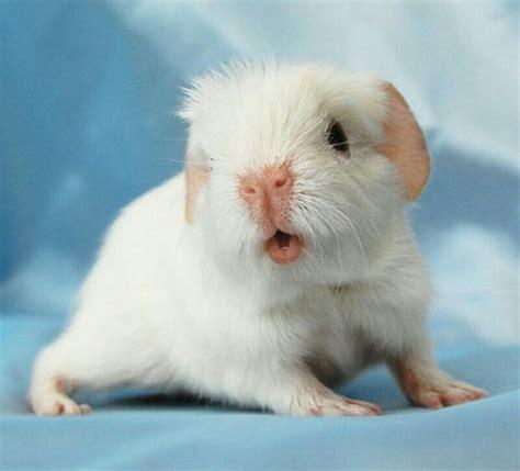 pin  guinea pig