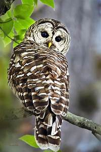 Barred Owl Photograph by Christina Rollo