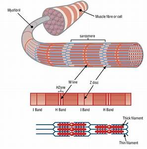 6 Muscle Structure Including Actin  Thin Filament  And