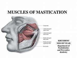 Mastication Download Free Clip Art With A Transparent