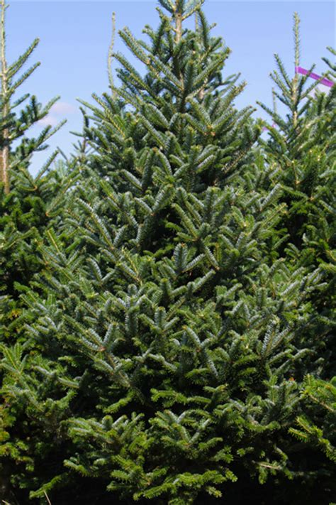 estplant  biggest producer  christmas trees