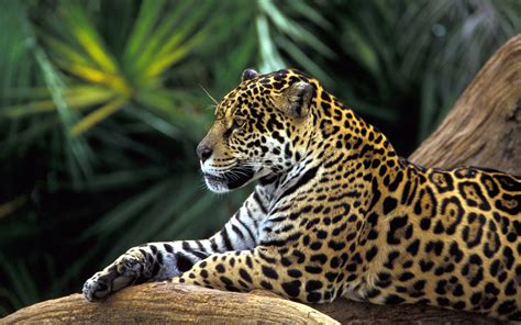 amazon rainforest images jaguar wallpaper hd wallpaper