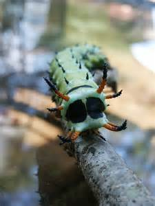 Hickory Horned Devil Caterpillar Moth