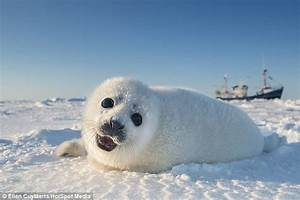 Photographer Ellen Cuylaerts captures baby seals days old ...