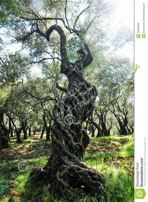 gnarled olive tree stock image image  aged mangled