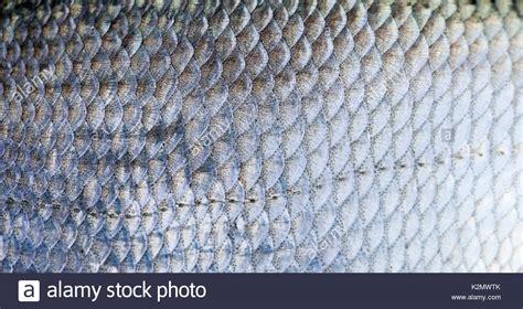schuppen auf englisch brassen fisch schuppen texturierte haut muster makro anzeigen selektiver fokus flachen tiefe
