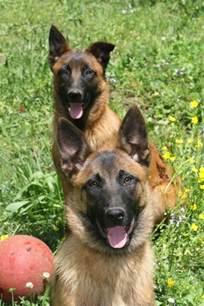shepherd belgian malinois dog breeds picture