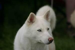 White Siberian Husky Wolf Mix - wallpaper.