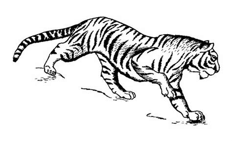 tiger  drawings  coloring