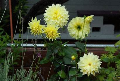 Plant Gardens Face Dahlia Faceplant Animate Easily
