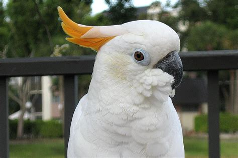 Citron Cockatoo Bird Species Profile