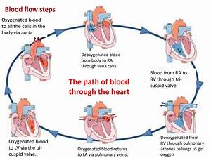 Electrical Processes Of The Heart
