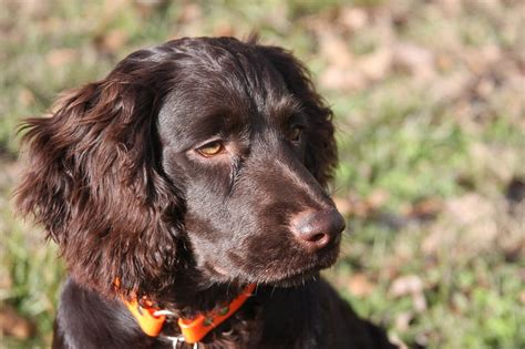 do boykin spaniels shed quotes by boykin like success