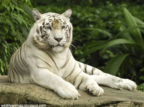 white tiger amazing facts images  wildlife