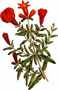 Clipart - Dwarf pomegranate tree