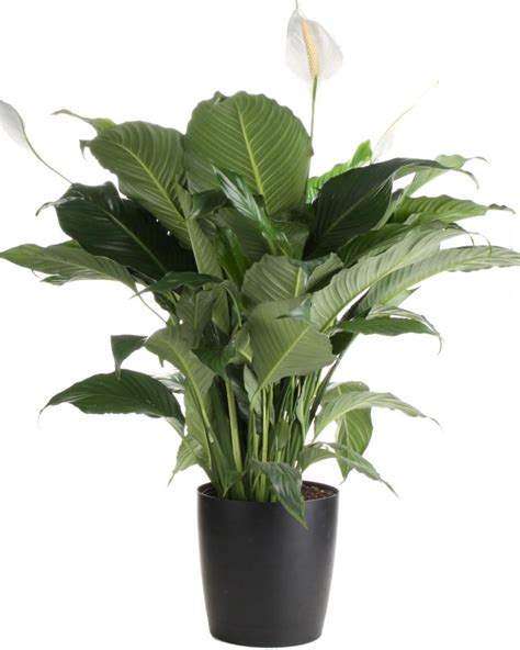 plant care peace lily care tips hgtv
